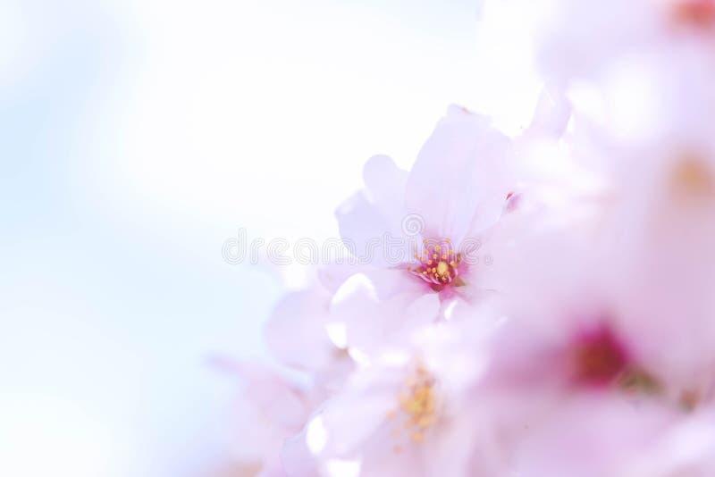 Omhoog gesloten op lichtrose vrolijke die bloesem, sakura door zonlicht in Osaka Japan wordt aangestoken stock afbeeldingen