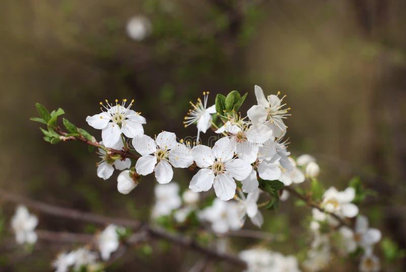 Omhoog gesloten van Cherry BlossomBunch Tree Spring Time Vage Achtergrond stock fotografie