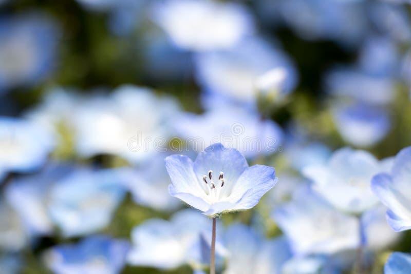 Omhoog gesloten van Nemophila ( Baby blauwe eyes) bloemachtergrond royalty-vrije stock foto's