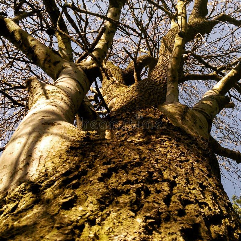 Omhoog het ontschorsen van de verkeerde boom royalty-vrije stock afbeelding