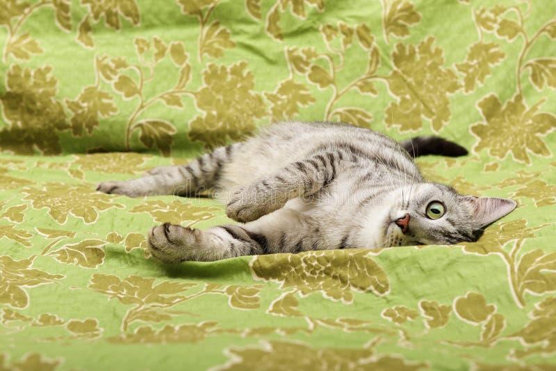 Omhooggaand, de kat die van het kattenportret dichte in het bed rusten en linker, binnenlandse jonge kat op groene achtergrond me stock fotografie