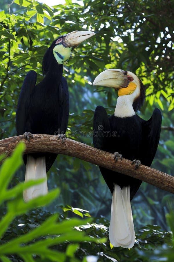 Omhulde Hornbill-Vogels stock afbeelding