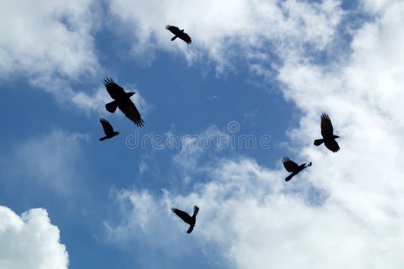 Omicidio dei corvi che circondano in cielo fotografia stock