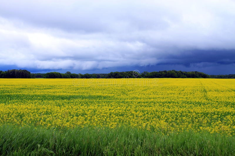 Ominous clouds over Field of Manitoba Canola in blossom. A local farmer's field of bright yellow field of Canola seen growing in south Central Manitoba Canada on royalty free stock photos