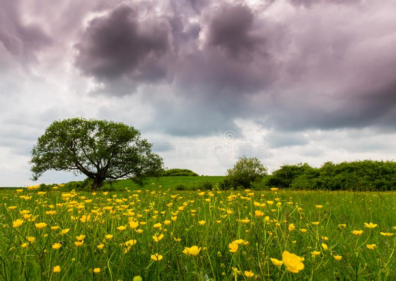 Ominous storm clouds and canola fields. At sunset royalty free stock image