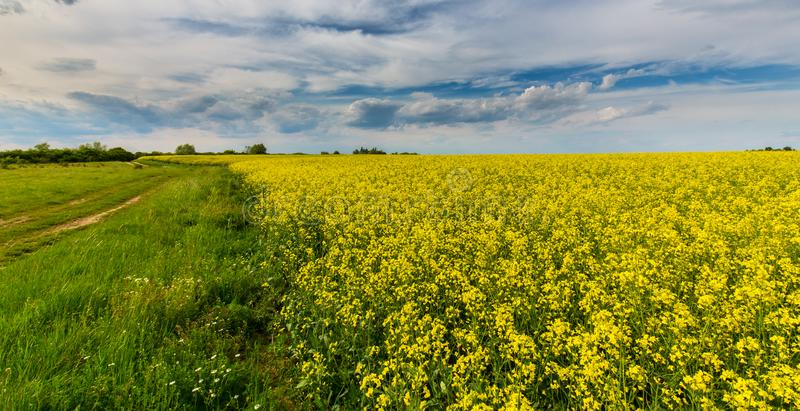 Ominous storm clouds and canola fields. At sunset royalty free stock images