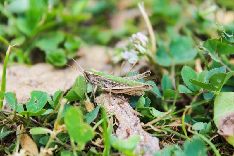 Omocestus viridulus, gräshoppa i grön färg med gräs royaltyfria bilder