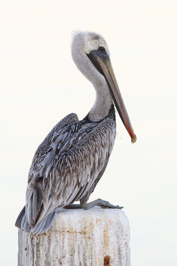 Omogen brun pelikan som sätta sig på en skeppsdocka som traver - Florida royaltyfri bild