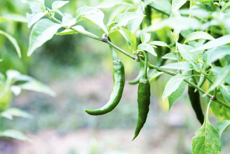 Omogen chili royaltyfri bild