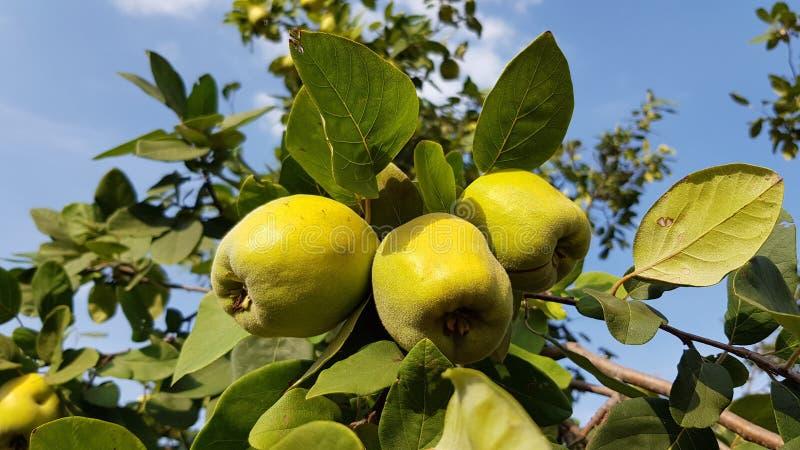Omogen gul closeup för äpplekvittenfrukter bland frodig grön lövverk på trädfilialer med bakgrund för blå himmel royaltyfria bilder