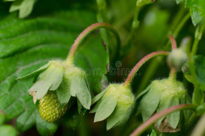 Omogen organisk jordgubbe royaltyfria bilder