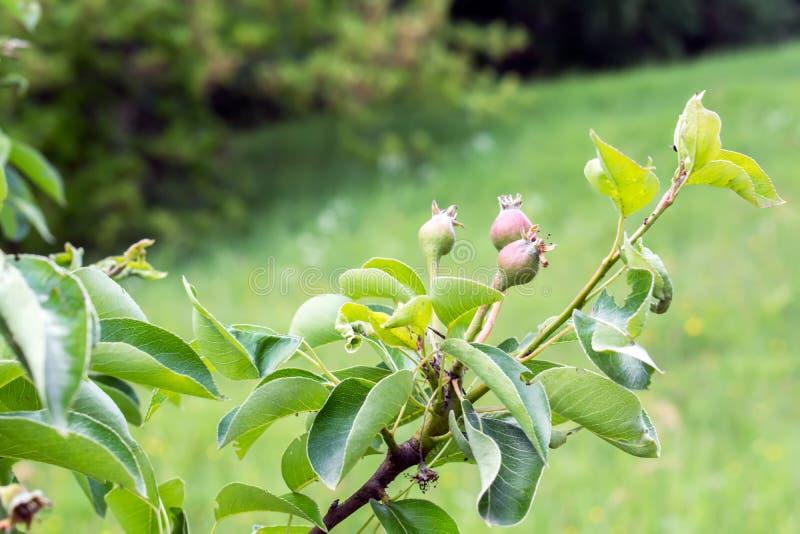 Omoget äpple i trädgården arkivbilder