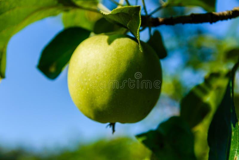 Omoget grönt äpple på en filial av äppleträdet royaltyfri fotografi