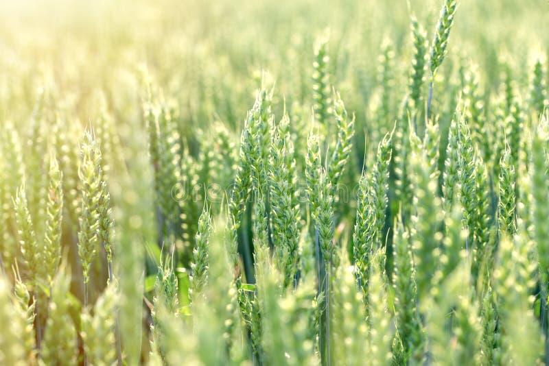 Omoget grönt fält för vete för gräsplan för vetefält - grönt vetefält som tänds av solljus arkivfoton