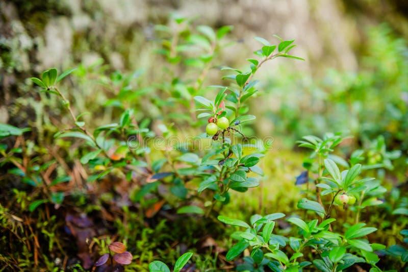 Omoget grönt lingon i sommarskogen royaltyfri foto