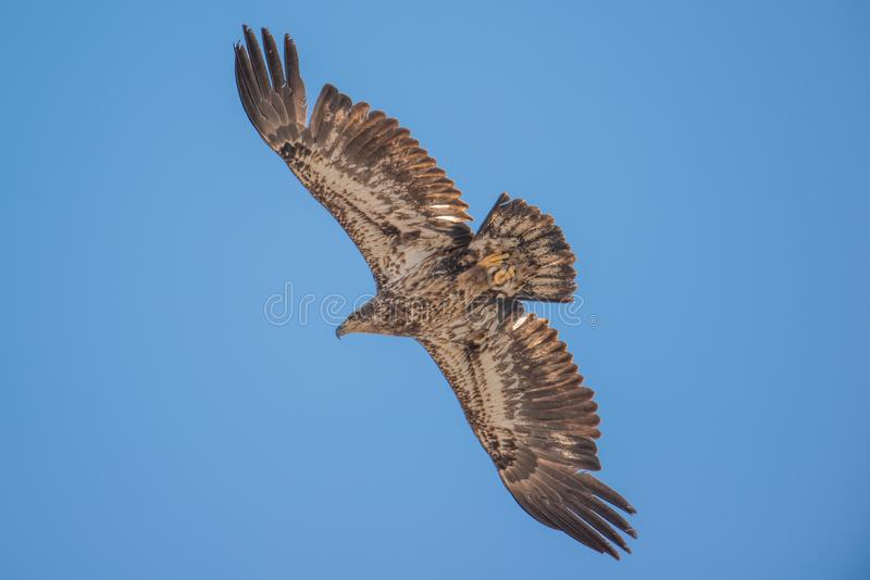 Omoget isolerat för skallig örn och skjuta i höjden i de blåa himlarna under tidiga vårflyttningar i området för Crexängdjurliv i royaltyfria foton