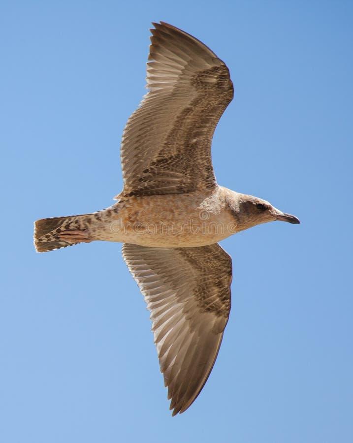 Omoget Kalifornien fiskmåsflyg arkivfoton
