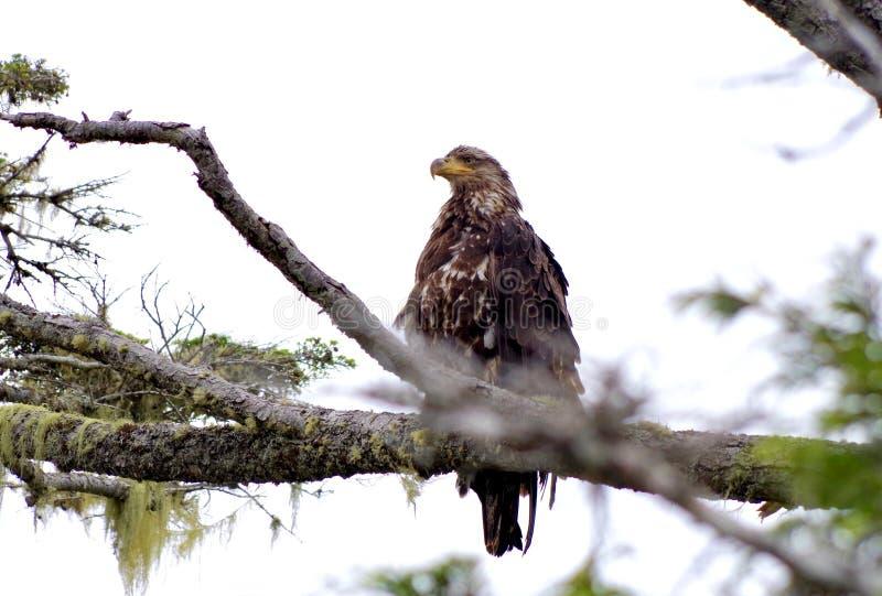 Omoget skalliga Eagle sammanträde på en filial som stirrar in i avståndet arkivfoton