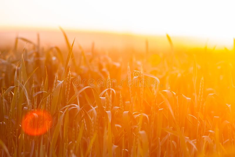 Omoget vete i fältet och under morgonsolen Vete i det varma solskenet Sol i vete royaltyfri bild