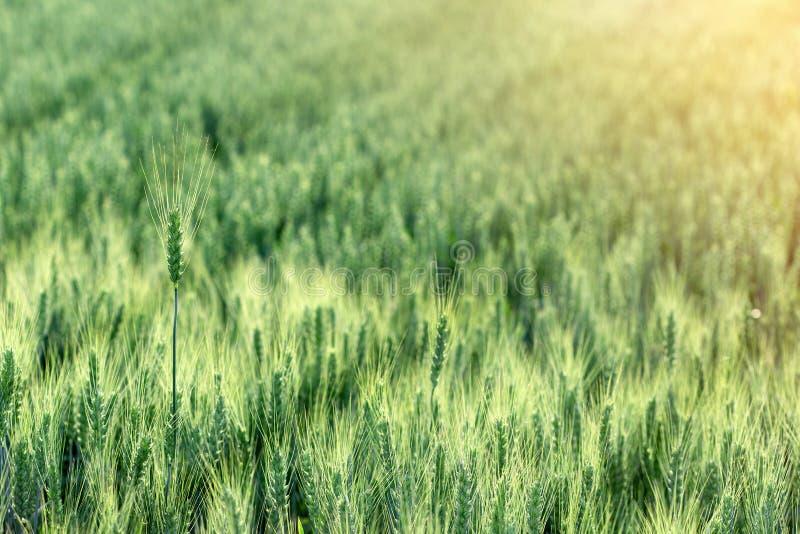 Omoget vetevetefält - grönt vetefält, jordbruks- fält royaltyfri bild