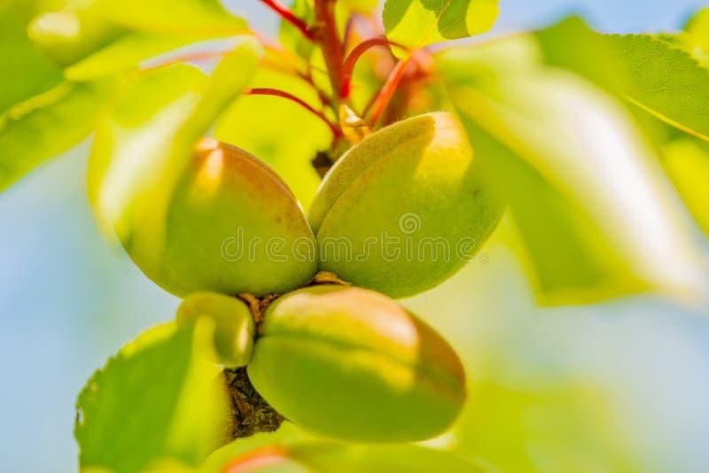 Omogna aprikors på filialen arkivfoton