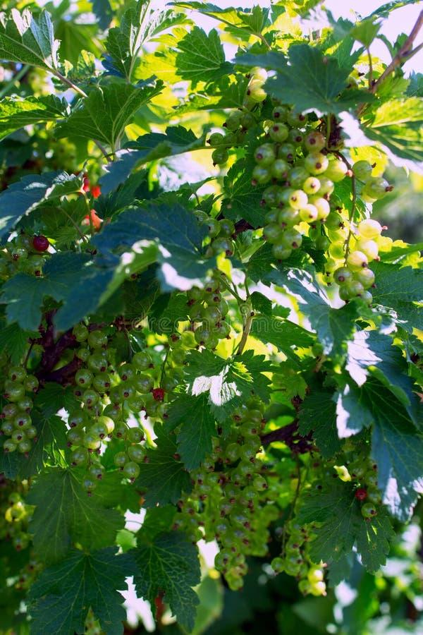 Omogna bär av röda vinbär på en filial i trädgården på den soliga dagen royaltyfria foton