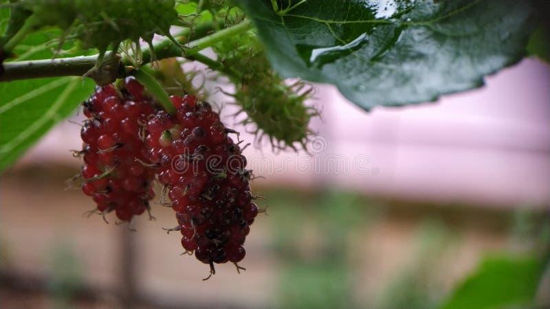 Omogna Blackberry på den sköt växtcloseupmakroen visa stammar royaltyfri bild