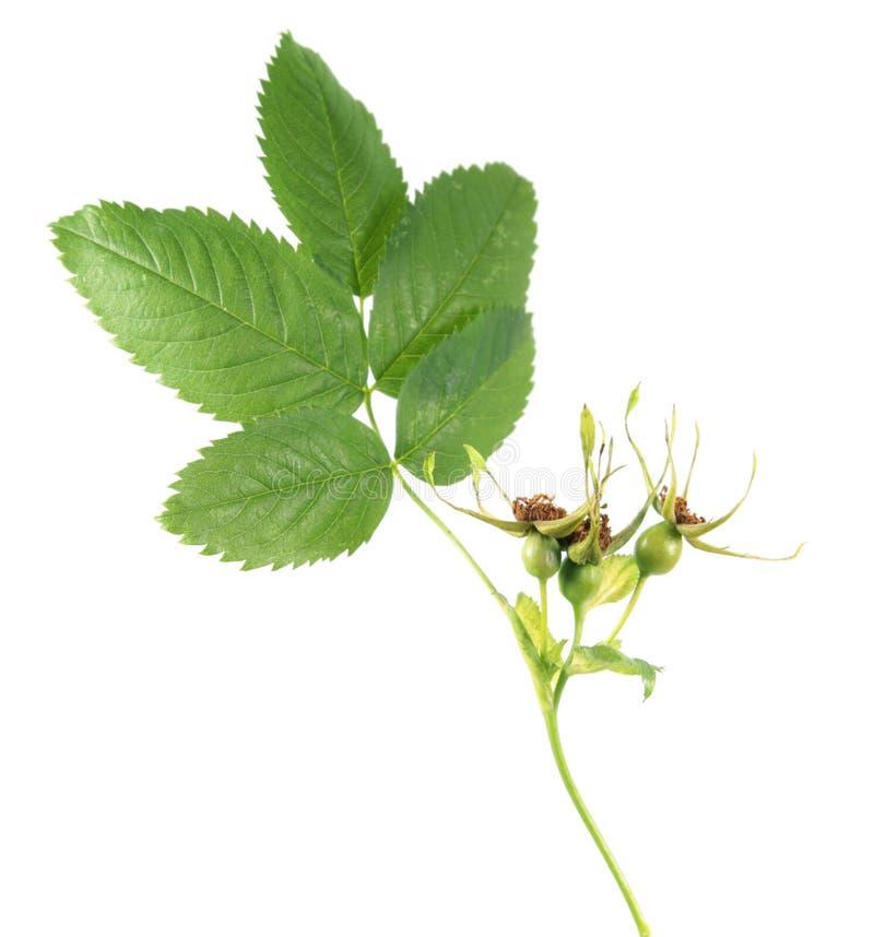 Omogna gräsplanroshöfter från hund-ros eller den Rosa caninaen som isoleras på vit bakgrund royaltyfri foto