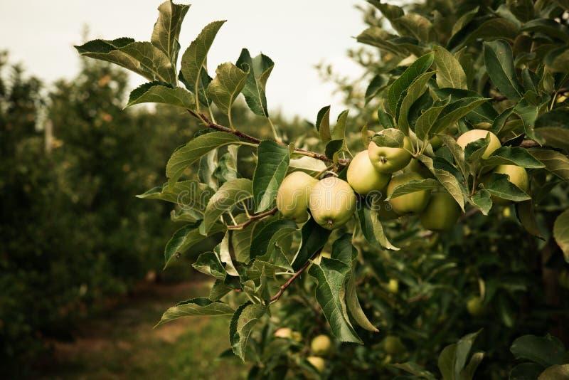 Omogna gröna äpplen på äppleträdfilialer i Juli med äpplefruktträdgården i bakgrunden Tonade tappningf?rger royaltyfri bild
