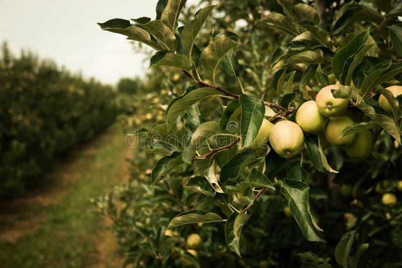 Omogna gröna äpplen på äppleträdfilialer i Juli med äpplefruktträdgården i bakgrunden Tonade tappningf?rger arkivbild