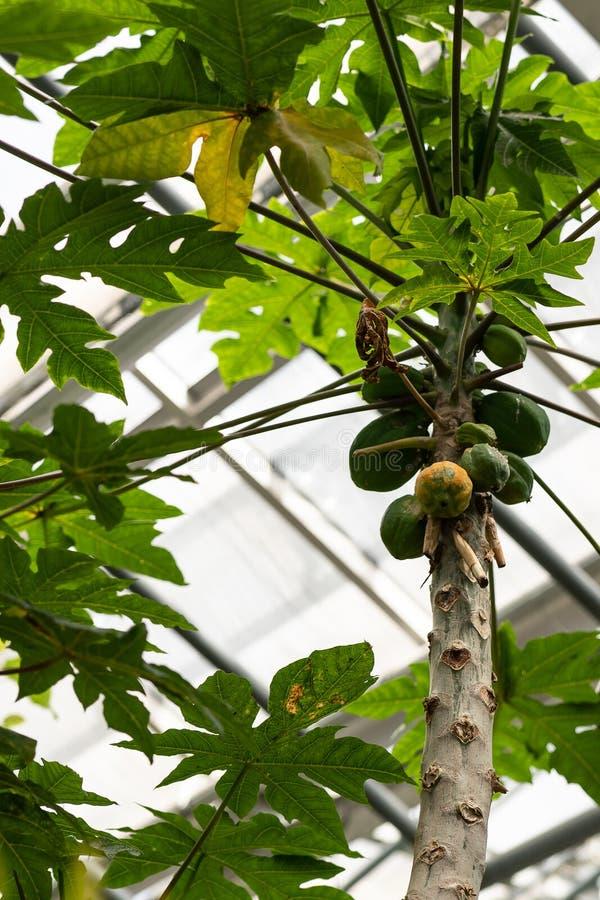 Omogna gröna papayas på träd royaltyfri bild