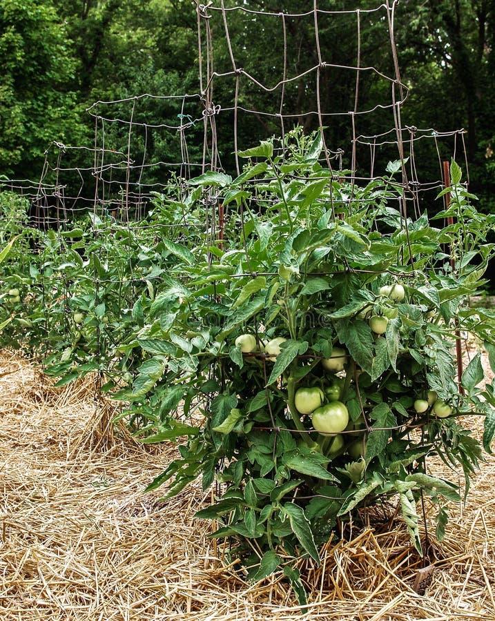 Omogna gröna tomater på sunda frodiga växter som stöttas av trådburar arkivfoton