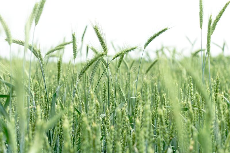Omogna gröna vetefält av grönt vete - grönvete, havre, råg, korn royaltyfri foto