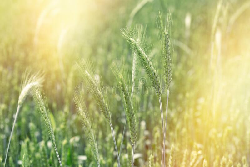 Omogna grönvete, detta jordbruksfält lovar en god skörd arkivfoton