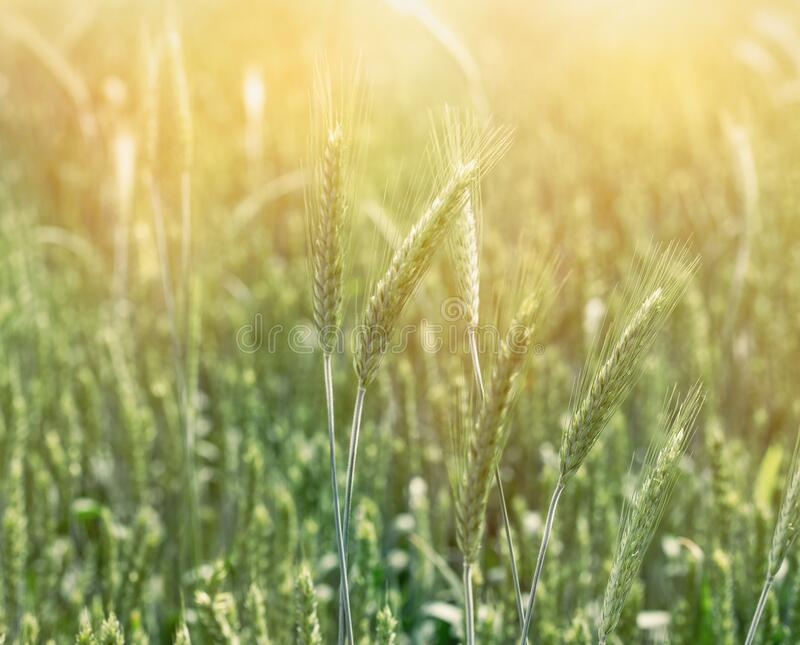 Omogna grönvetefält, grönvetefält belyst med solljus royaltyfri foto
