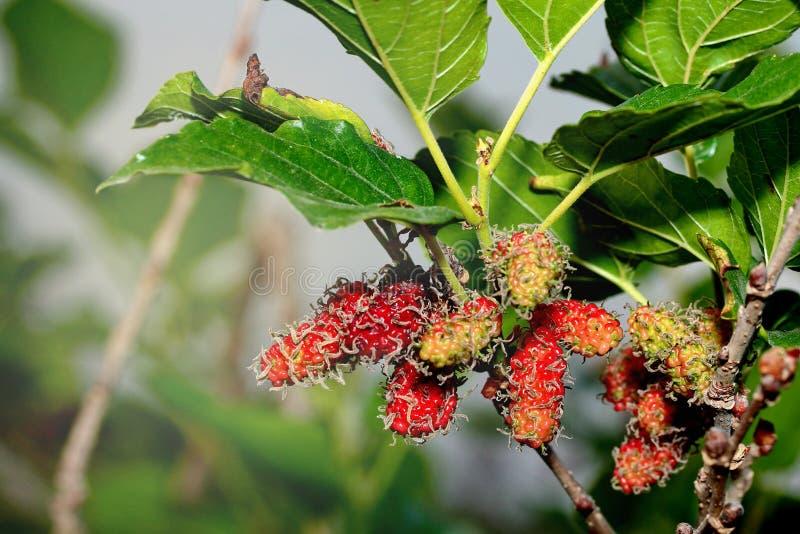 Omogna mullbärsträd som är röda och som är gröna på filialen arkivfoto