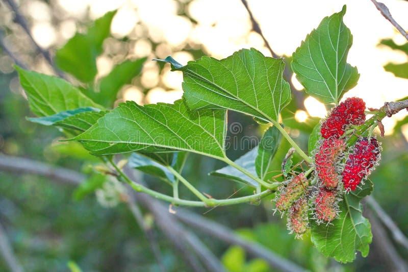 Omogna mullbärsträd som är röda och som är gröna på filialen royaltyfri fotografi