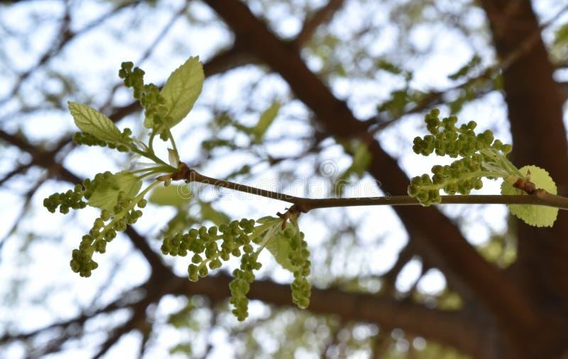 Omogna mullbärsträdfrukter royaltyfria bilder