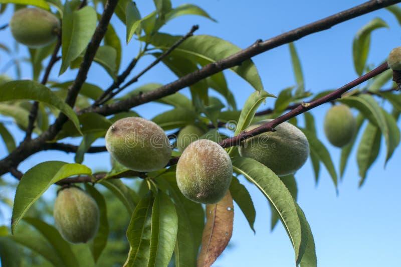 Omogna persikor på trädfilial royaltyfri fotografi