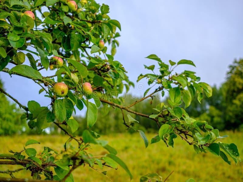 Omogna ?pplen p? en filial Daggdroppar på äpplen i strålarna av den varma morgonsolen royaltyfri fotografi