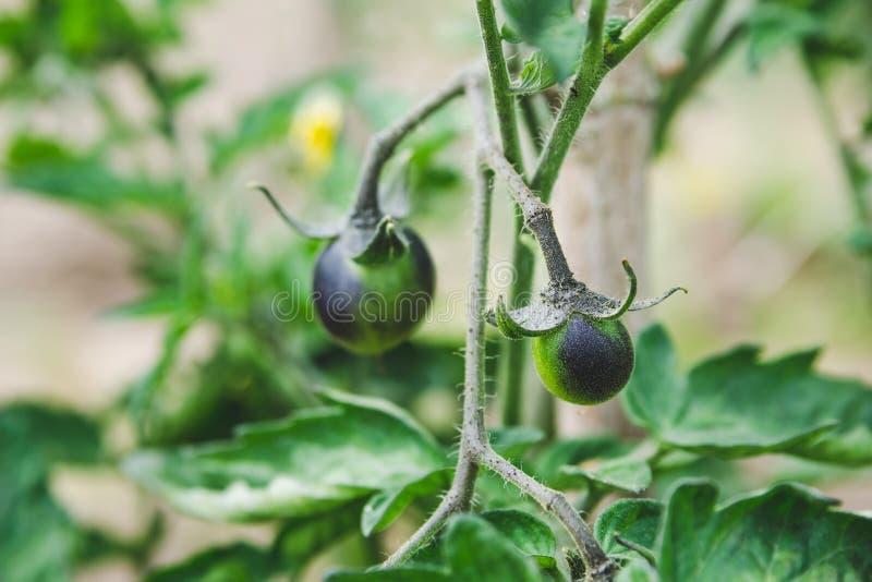 Omogna svarta körsbärsröda tomater växer på en filial i trädgården royaltyfria foton