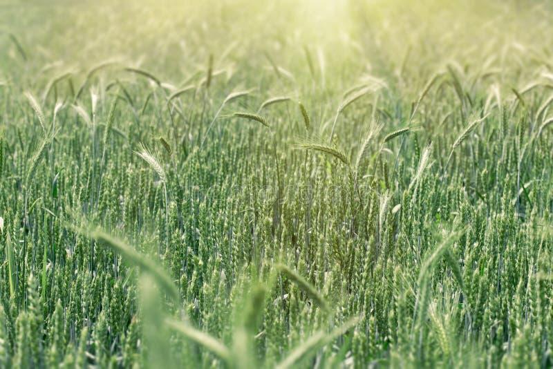 Omogna vetefält - grönvetefält, jordbruksfält royaltyfri bild