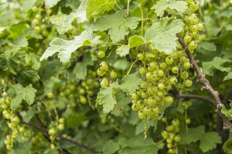 Omogna vinbär som hänger på en Bush på en solig sommardag i trädgården royaltyfri foto