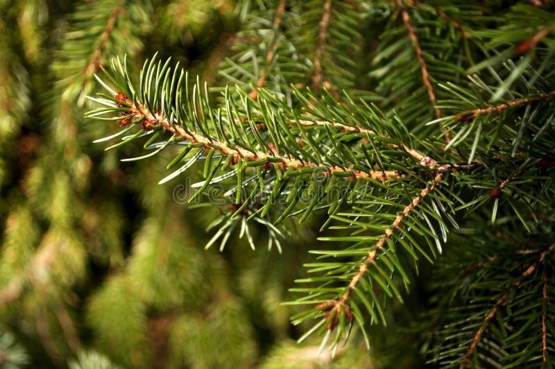 Omorika Picea стоковые изображения