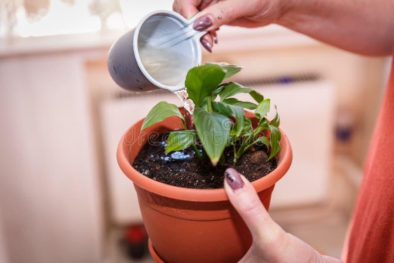 Omsorg av hem- v?xter Kvinna som bevattnar blomman fr?n en kopp royaltyfria foton