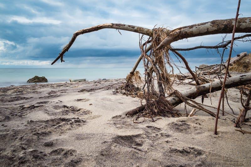 Omstörtat träd på kusten av Östersjön royaltyfria bilder