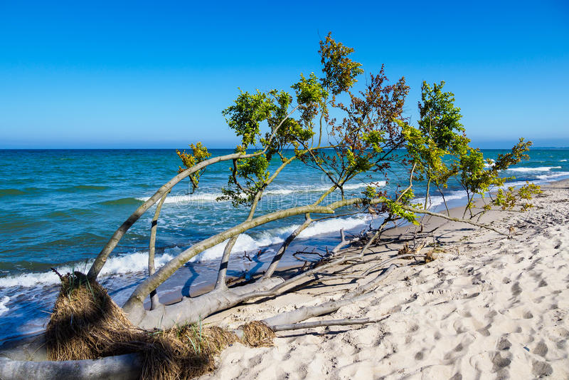 Omstörtat träd på kusten av Östersjön arkivbild