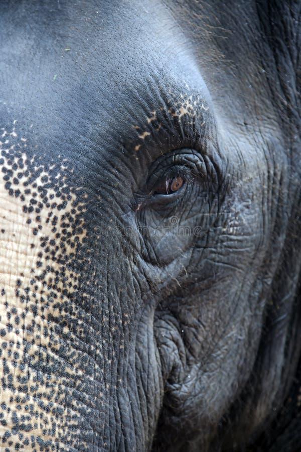 Omzichtig kijk van Thais olifantsclose-up stock foto's