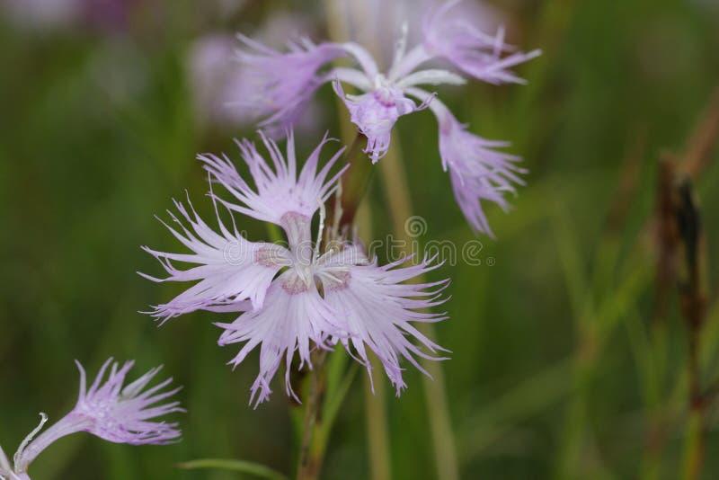 Omzoomd Roze, Dianthus-monspessulanus royalty-vrije stock foto's