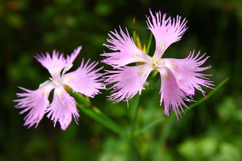 Omzoomd roze, Dianthus-monspessulanus stock foto's